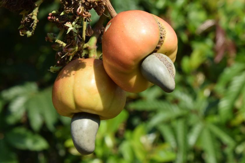 Pomme de cajou