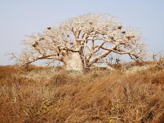 Baobab nain_Île Serpent