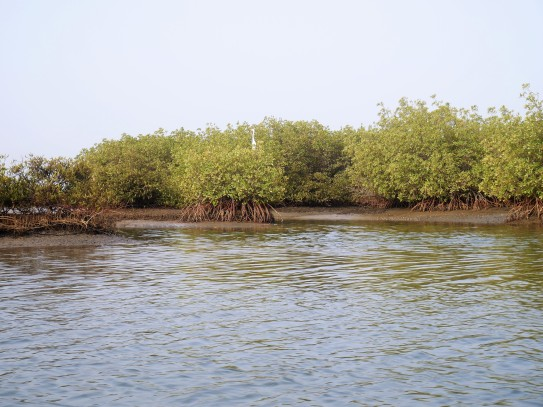 Mangrove du delta de Saloum
