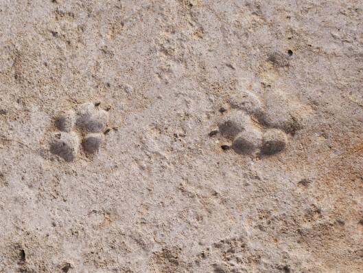 Traces de pattes d'une hyène au delta du Saloum