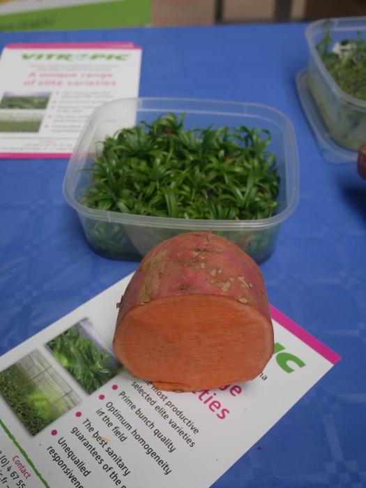 Tubercule et plants de patate douce